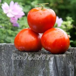 Сорт томата Бабушкино