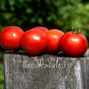 Сорт томата Богатырь Маслова