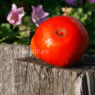 Сорт томата Большая Изба