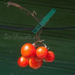 Christmas grapes (Кристмас грейпс)