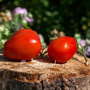 Сорт томата Дамский Угодник