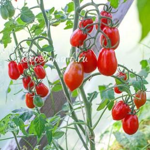 Сорт томата Datterini red (Даттерини красные), Италия