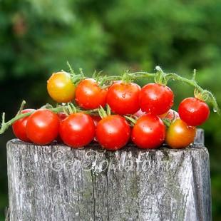 Сорт томата  Gardener's Delight (Восторг Садовника, Германия)