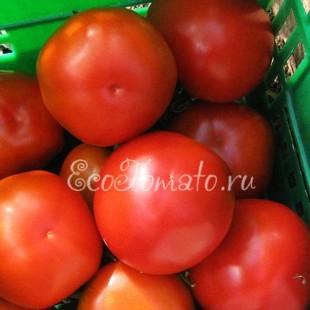 Сорт томата Гибрид 6 Тарасенко