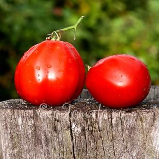 Сорт томата Итало-американский Голдмара, США
