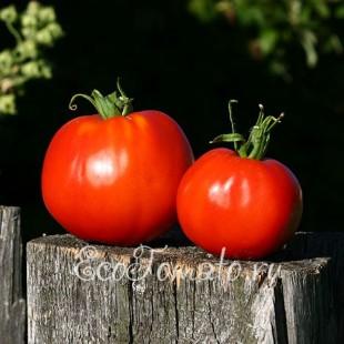Сорт томата Икарус