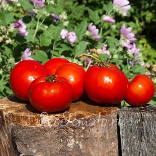 Сорт томата Иранские Альфинур