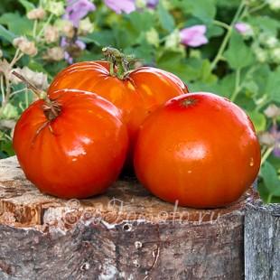 Сорт томата Испанский Гигант
