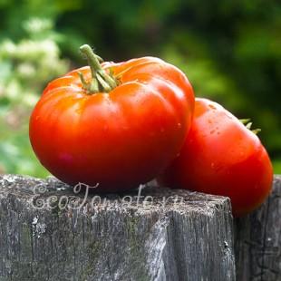 Сорт томата Жар-Горящие угли