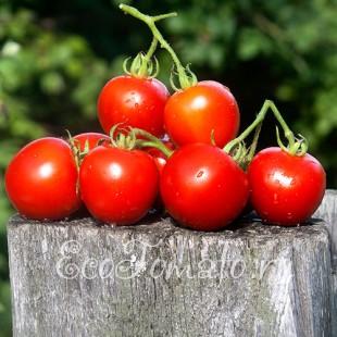 Сорт томата Кавказская Лиана