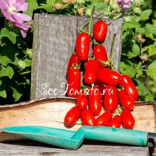 Сорт томата Красный Клык