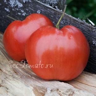 Сорт томата Неразлучные сердца