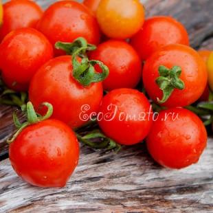 Сорт томата Нитка красного жемчуга