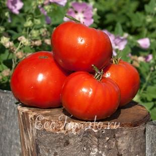 Сорт томата Огненная Лавина