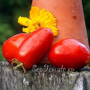 Сорт томата Перцевидный Алексевны