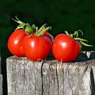 Сорт томата Подарок Полесью