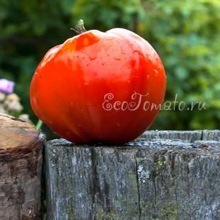 Сорт томата Provenzano (Провенцано), Италия