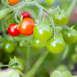 Sweet Pea Currant (Свит пиа курант)