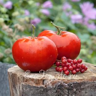 Сорт томата Царский Любимец