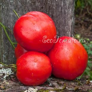 Сорт томата Ведро с куста