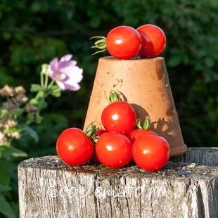 Сорт томата Виноград Красный