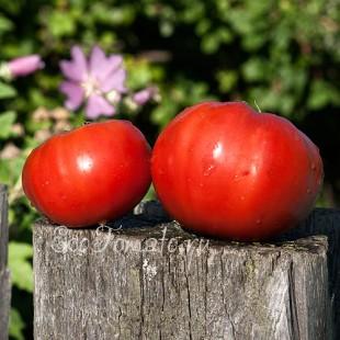 Сорт томата Воловье Чело, Украина