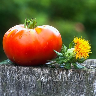 Сорт томата Японское Солнце