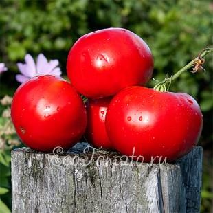 Сорт томата Юсуповские (Узбекские)