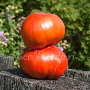 Сорт томата Нужный размер, русская любительская селекция