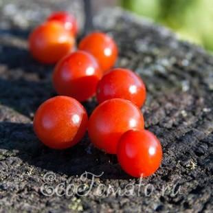 Дикий окультуренный сорт томата родом из Южной Америки Sweet Pea Currant