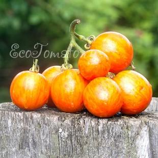 Сорт томата К 54-76, Украина