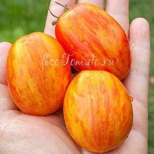 Сорт томата Quagga Quagga (Квага Квага), США