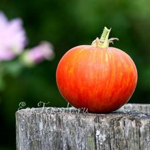 Сорт томата Red Furry Boar (Красный мохнатый кабан), США