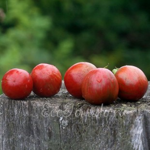 Сорт томата Вернисаж черный