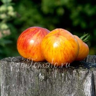 Сорт томата Желтый Полосатый Кабан, США