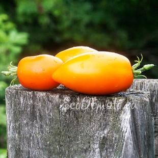 Сорт томата Желтые сливки, Казахстан
