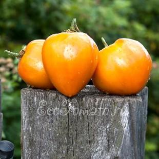 Сорт томата Бычье сердце желтое, Минусинское