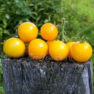 Сорт томата Goldene Konigin (Золотой король), Германия