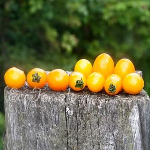 Сорт томата Золотые пальчики