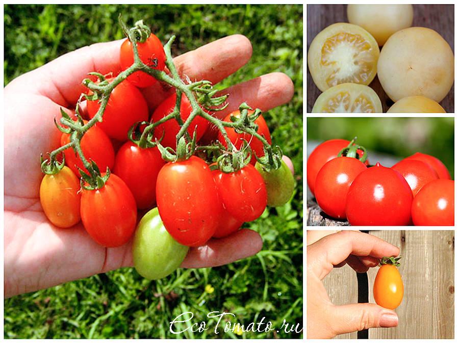 Когда сажают помидоры черри