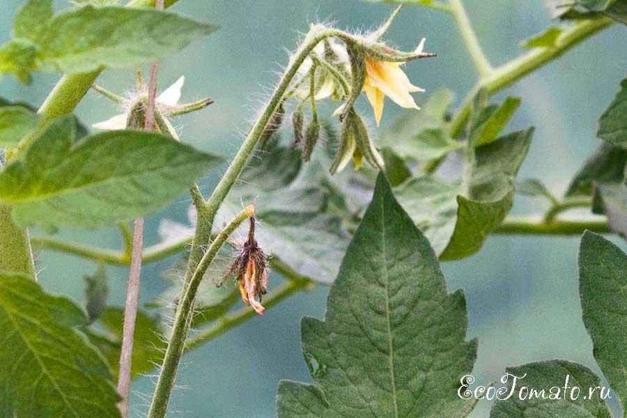 Почему на помидорах засыхают цветки